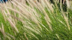 在日落期间的开花的草 免版税库存照片