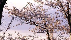在日落期间的日语佐仓 影视素材