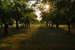 在日落期间的果树园 库存图片