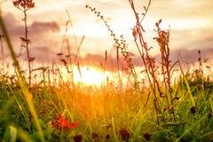 在日落期间的草地早熟禾 库存图片
