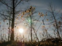 在日落期间的蒲公英花 免版税库存图片