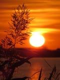 在日落期间的里德 库存图片