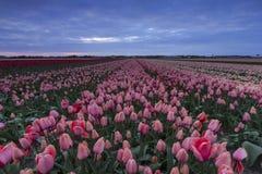 在日落期间的风雨如磐的天空在一个桃红色和红色郁金香领域上在Hol中 免版税库存图片