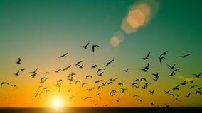 在日落期间,现出轮廓海鸥群在海洋的 自然 免版税库存图片