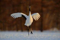 在日落期间,跳舞的白色鸟红加冠了起重机,粗碎屑japonensis,与开放翼,有雪风暴的,北海道,日本 免版税库存图片