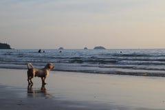 在日落海滩的一条狗 免版税库存照片