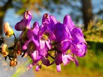 在日落特写镜头的紫罗兰色紫色附子花附子 免版税库存照片