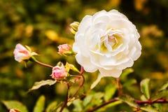 在日落特写镜头的白色玫瑰 免版税图库摄影