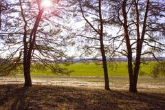 在日落的一个杉木森林里太阳通过分支在春天发光 免版税库存图片
