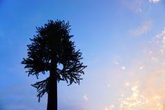 在日落的一个柏树剪影 免版税库存照片
