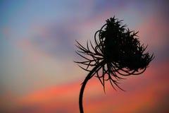 在日落的一个特别花剪影 免版税图库摄影