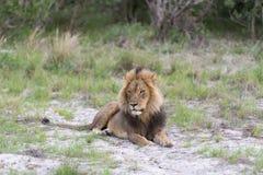 在日落的一头公狮子 库存图片