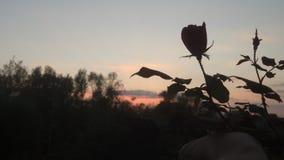 在日落的一朵玫瑰 库存图片