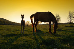 在日落的两个马剪影 库存照片