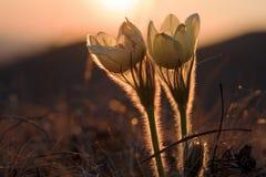 在日落的两朵花 库存照片