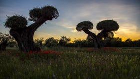 在日落的两棵橄榄树,普罗旺斯,法国 免版税库存图片