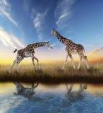 在日落的两头长颈鹿 免版税图库摄影
