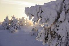 在日落的云杉在雪帽子下 免版税库存照片