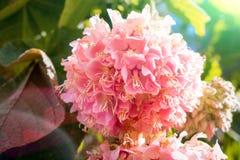 在日落的五颜六色的八仙花属在庭院里 库存照片