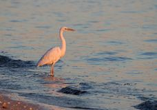 在日落的伟大的白鹭 库存照片