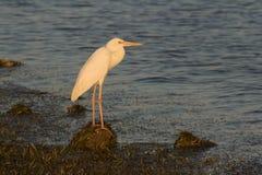 在日落的伟大的白鹭 免版税库存图片