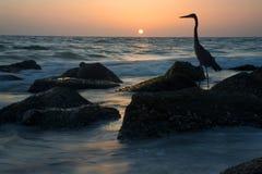 在日落的伟大蓝色的苍鹭的巢剪影 图库摄影
