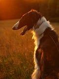 在日落的俄国猎狼犬 免版税库存图片