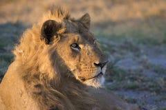 在日落的公狮子 库存照片