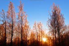 在日落的冬天结构树 免版税库存图片