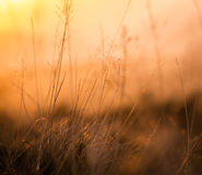 在日落的减速火箭的草地早熟禾 库存照片
