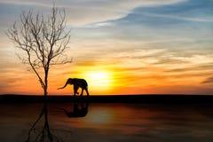 在日落的剪影大象 库存图片