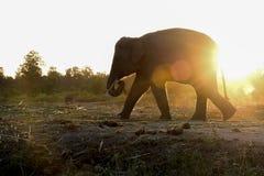在日落的剪影大象 免版税库存图片