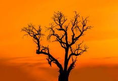 在日落的剪影死的树 库存照片