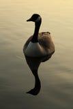 在日落的加拿大鹅 免版税库存照片