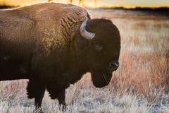在日落的北美野牛外形 图库摄影