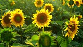 在日落的向日葵农业领域 股票录像