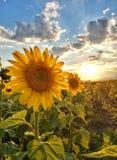 在日落的向日葵子线 图库摄影