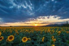 在日落的向日葵领域 图库摄影