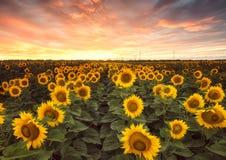 在日落的向日葵领域 免版税库存图片