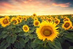 在日落的向日葵领域 免版税库存照片