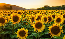 在日落的向日葵领域 库存图片