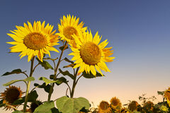 在日落的向日葵 库存图片