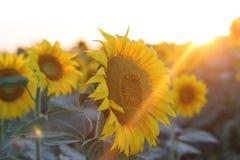 在日落的向日葵 免版税库存照片