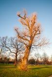 在日落的大光秃的树 免版税库存图片