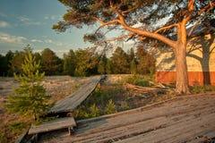在日落的大杉树 免版税库存图片