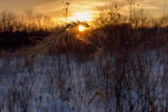 在日落的大网茅草 免版税库存照片
