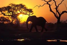 在日落的大象,博茨瓦纳 库存图片