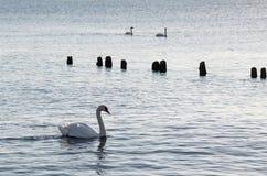 在日落的天鹅 免版税库存图片