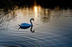 在日落的天鹅 库存图片