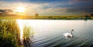 在日落的天鹅 免版税库存照片